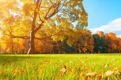 Jesieni piękny drzewo w pogodnym jesień parku zaświecał światłem słonecznym - jesieni drzewo w świetle słonecznym Zdjęcia Royalty Free