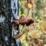 Jesieni pieczarka na brzozie obraz stock
