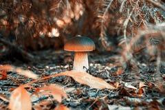 Jesieni pieczarka pod drzewem Piękna czerwona jesień Zdjęcie Stock