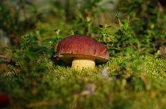 Jesieni pieczarka w lasowym (borowiki) Zdjęcia Stock