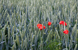 jesienią pola pszenicy krajobrazu Zdjęcie Royalty Free