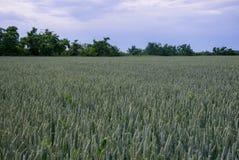 jesienią pola pszenicy krajobrazu Obrazy Royalty Free