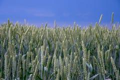 jesienią pola pszenicy krajobrazu Obraz Royalty Free