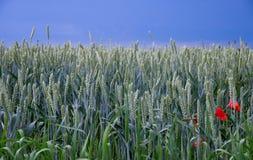 jesienią pola pszenicy krajobrazu Zdjęcia Royalty Free