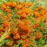 Jesieni pomarańczowe barwione jagody z zielenią opuszczają na krzakach medic zdjęcie royalty free