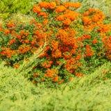 Jesieni pomarańczowe barwione jagody z zielenią opuszczają na krzakach medic obrazy stock