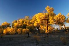 Jesieni Populus Obrazy Stock