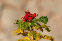 Jesieni różany biodro Obrazy Royalty Free