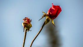 Jesieni róże Fotografia Royalty Free