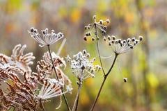 Jesieni rośliny z hoar Fotografia Royalty Free
