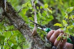 Jesieni rolnicze pracy, sadu utrzymanie, rozgałęzia się na fru Obrazy Royalty Free
