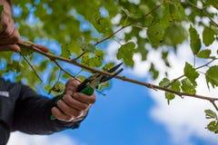 Jesieni rolnicze pracy, sadu utrzymanie, rozgałęzia się na fru Obraz Stock