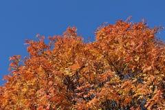 Jesieni rowan czerwony drzewo przeciw niebieskiemu niebu Obrazy Royalty Free