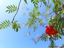 Jesieni rowan jagody ashberry. Sorbus aucuparia Obrazy Royalty Free