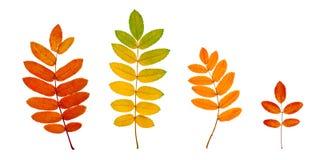 Jesieni Rowan liście odizolowywający na bielu zdjęcia stock