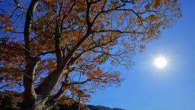 Jesieni słońce i drzewo Fotografia Stock
