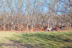 Jesieni scena z krowami Fotografia Royalty Free