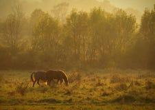 Jesieni sceneria z koni karmić i drzewa z ulistnieniem przy zmierzchem w Altringen pomarańczowym i żółtym, Timis okręg administra Zdjęcia Royalty Free