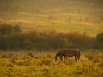 Jesieni sceneria z koni karmić i drzewa z ulistnieniem przy zmierzchem w Altringen pomarańczowym i żółtym, Timis okręg administra Zdjęcie Stock