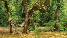 Jesieni skrzywiony drzewo przy ogródem botanicznym zdjęcia royalty free