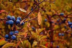 Jesieni sloes Zdjęcia Royalty Free