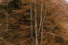 Jesieni srebni drzewa z czerwonymi liśćmi Zdjęcia Stock