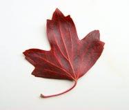 Jesieni szkotowy drzewo Obraz Stock