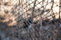 Jesieni tło z Virginia pełzacza lianą na starym ośniedziałym metalu ogródu ogrodzeniu obraz royalty free
