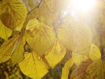 Jesieni tło - żółty marple opuszcza na czarnej asfaltowej drodze z kopii przestrzenią dla teksta Spadku tło struktura Kwadratowy  zdjęcia stock