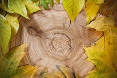 Jesieni tło: kolorów żółtych liście na kurendzie zobaczyli rżniętego modrzewia Obraz Royalty Free