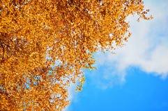 Jesieni tło - pomarańczowi brzozy jesieni liście przeciw niebieskiemu niebu Jesień naturalny widok z bezpłatną przestrzenią dla t Obrazy Royalty Free
