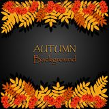 Jesieni tło z rowan Obrazy Stock