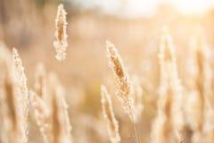 Jesieni trawy w polu przy zmierzchem Obraz Stock