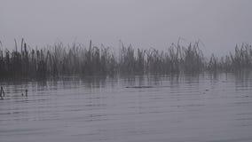 Jesieni trzcina w ranek mgle lub płocha zbiory