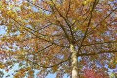 Jesieni ulistnienie Zdjęcie Stock