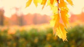 Jesieni ulistnienie zbiory