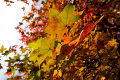 Jesieni ulistnienie Zdjęcia Stock
