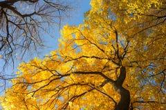 Jesieni ulistnienie drzewa Obrazy Royalty Free
