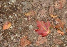 Jesieni ulistnienie w północnego wschodu lesie Zdjęcie Stock