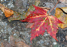Jesieni ulistnienie w północnego wschodu lesie Obraz Stock