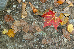 Jesieni ulistnienie w północnego wschodu lesie Obrazy Royalty Free