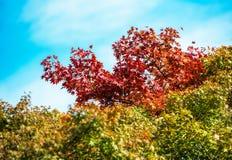 Jesieni ulistnienie w parku, Tokio, Japonia Odizolowywający na błękitnym tle zdjęcie stock