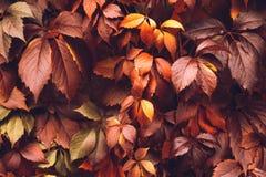 Jesieni Virginia pełzacz Zdjęcia Stock