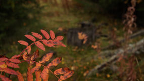 Jesieni więdnąć Obraz Royalty Free