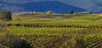 jesienią wineyards Obraz Royalty Free