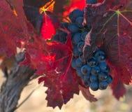 Jesieni winogrona Fotografia Stock