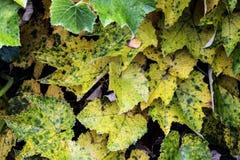 Jesieni winogrono opuszcza kręcenie kolor żółtego Obrazy Royalty Free