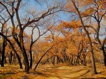 Jesieni złoto w rio grande Rzecznej dolinie, Nowej - Mexico fotografia stock