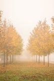 Jesieni złoci drzewa w mgle Fotografia Royalty Free