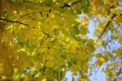 Jesieni zielony żółty ciężki ulistnienie Obraz Royalty Free